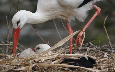 Megérkeztek a gólyák: tanuljunk gólyás verseket!